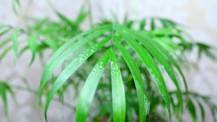 green plant are sprayed with help of spray, water drops, closeup