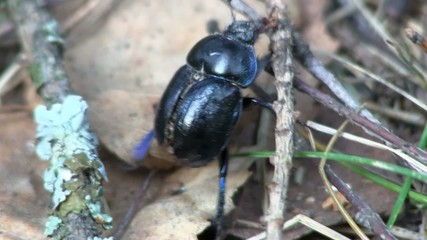 Black bug crawling on the fallen leaves.