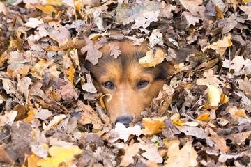 Hund versteckt sich im Laub