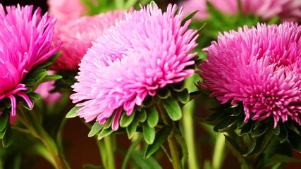 beautiful fluffy pink chrysanthemum spin on its axis, closeup