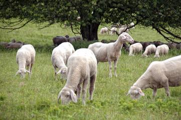 Mouton en pature