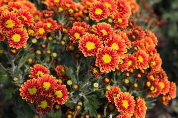 chrysanthemum Ball