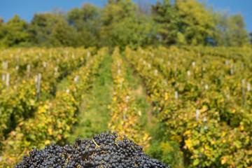 Rote Weintrauben im Herbst