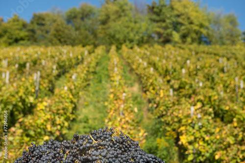 canvas print picture Rote Weintrauben im Herbst