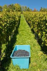 Ernte von Weintrauben im Weinberg