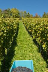 Ernte von roten Weintrauben vom Spätburgunder