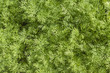 Fresh dill herb close up.