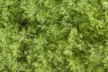 Fresh dill herb close up.