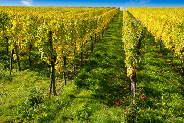 Weinberg im Herbst mit gelben Laub