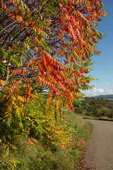 Essigbaum (Rhus typhina) mit rotem Laub im Herbst