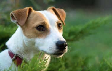 Jack Russel,  chien