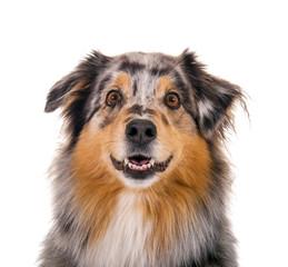 Aufmerksamer Australian Shepherd Hund