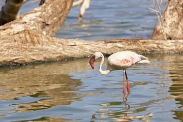 Flamingo at Lake Bogoria, Kenya