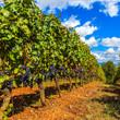 Beautiful Tuscan Vineyard
