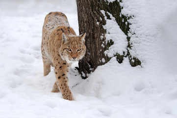 Lynx in winter
