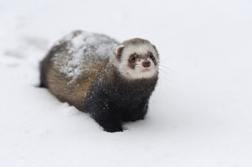 Wild ferret in snow