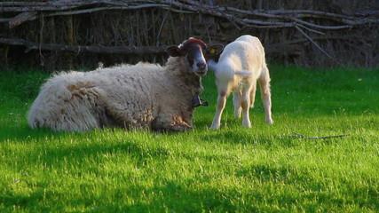 Oveja recostada con  cordero pastando  en un prado al atardecer