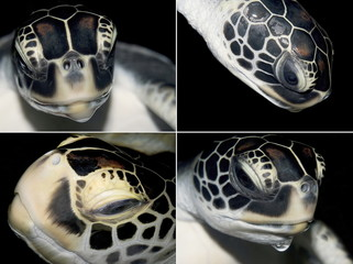 Four view pictures of leather on heads of turtles