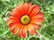 canvas print picture - Fiore arancione