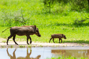 Warthogs by a water