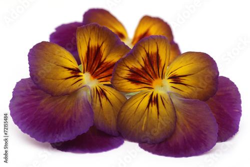 Fotobehang Pansies Viola flower