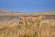 Two lionesses with young