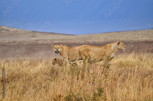Fotobehang Overige Two lionesses with young