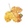 Herbstblatt mit Frosch