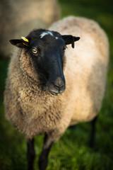 Farm animals: black-head sheeps grazing on a lovely green pastur