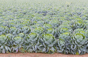 Field of Brussels Sprouts plants (Brassica oleracea)