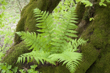 wild fern