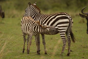 Zebra, Young