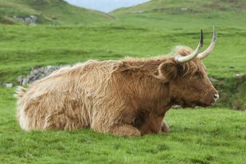 Highland Cow Lying down