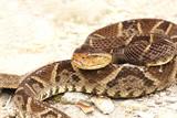 Bothrops asper a venomous pit viper poster