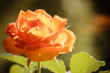 canvas print picture - Nature. Orange rose flower for background