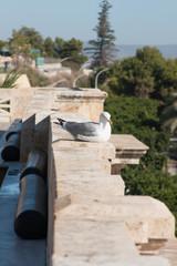 Seagull in Cagliari