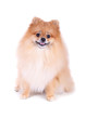 canvas print picture - pomeranian dog isolated on white background