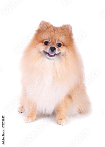 canvas print picture pomeranian dog isolated on white background