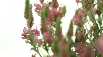 Wildflower blooming. Purple heather - Stock Footage