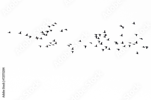Flock of Ducks Silhouetted Against a White Background - 72175284