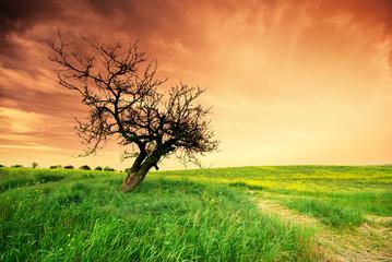 Lonely tree on sundown.
