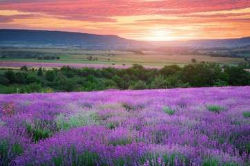 Meadow of lavender