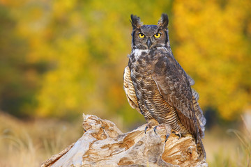 Great horned owl sitting on a stump