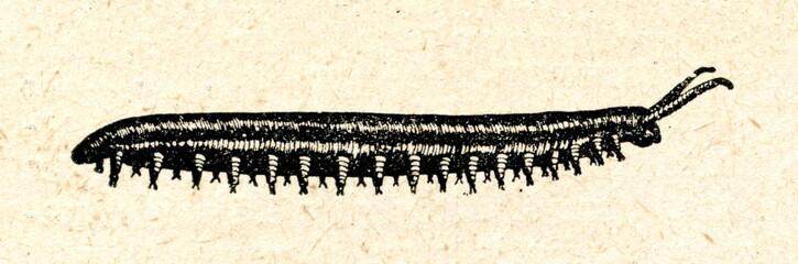 Cape velvet worm (Peripatopsis capensis)