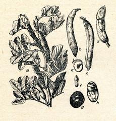 Broad bean (Vicia faba)