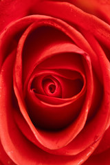 Beautiful red rose closeup