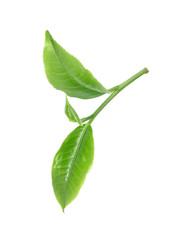 Green tea leaf isolated on white