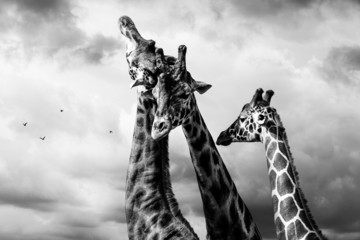 giraffes black and white