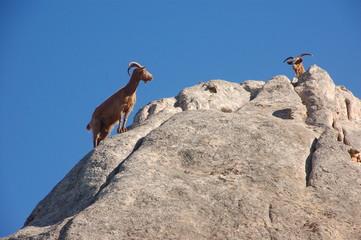 capre selvatiche dell'isola di caprera 5