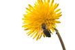 Obrazy na płótnie, fototapety, zdjęcia, fotoobrazy drukowane : bee on a dandelion